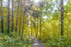 Forest Path. Autumn, Early autumn, Forest, Forest Path, Grove, Path In The Woods, Pine tree, Pines, Rays of sunlight, Sunlight, Sunlight in the branches, Trees Royalty Free Stock Photo