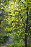Forest path with backlit linden tree Royalty Free Stock Image