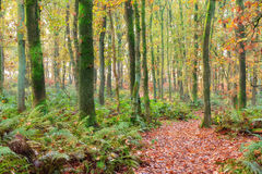 Forest path. Beautiful forest path in autumn in the Netherlands with vibrant colored leaves and ferns Royalty Free Stock Photography