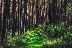Forest path in beautiful light. Forest path in Germany with typical trees Stock Photography