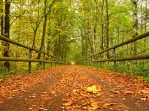 Forest path bellow green yellow trees. Fall afternoon in forest after rain Stock Image