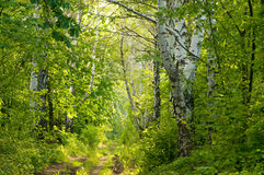 Forest path between birches Stock Photo