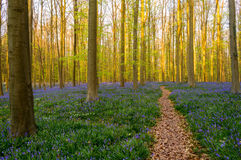 Forest Path in Bluebells Carpet Royalty Free Stock Images