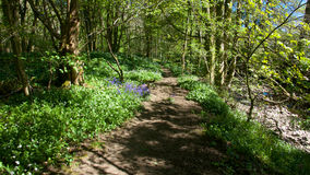 Forest path with bluebells . Royalty Free Stock Photography