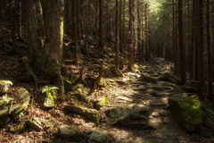Forest path on the border between coniferous trees. Stock Images