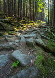 Forest path on the border between coniferous trees. Royalty Free Stock Images