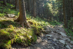 Forest path on the border between coniferous trees. Royalty Free Stock Photo