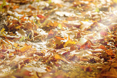 Forest path covered with autumn leaves. Autumn fallen leaves lit by the afternoon sun Stock Photos