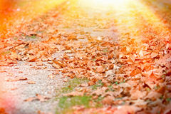 Forest path covered with autumn leaves Royalty Free Stock Images