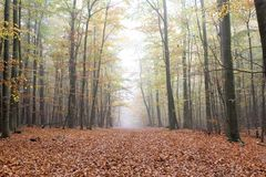 Forest path. Foggy forest path in autumn Stock Image