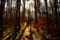 Forest path going up hill into silhouetted pine trees Stock Image