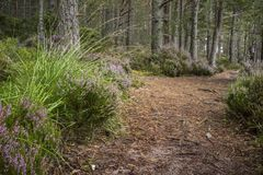 Forest path and heather at Abernethy Caledonian forest in Scotland. Forest path and heather at Abernethy Forest in the Cairngorms National Park of Scotland stock photo