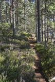 Forest path and heather at Abernethy Caledonian forest in Scotland. Forest path and heather at Abernethy Forest in the Cairngorms National Park of Scotland royalty free stock photography