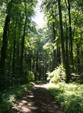 Forest path. With high trees Royalty Free Stock Image