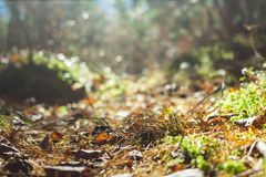 Forest path illuminated by the sun, bottom view. Autumn, fallen leaves, needles. Forest path illuminated by the sun, bottom view, close up. Autumn forest with Stock Photography