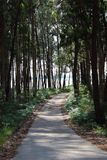 Forest path between tall pine trees. stock photo