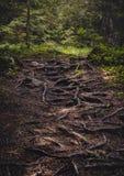 Forest Path invaso con le radici immagini stock