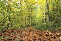 Forest path. A narrow path in the autumn forest, strewn with fallen leaves Royalty Free Stock Images