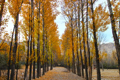 Forest path. 2016.10.6 In the outskirts of the county of Qinghai Province in China, autumn a golden yellow, very beautifu Royalty Free Stock Photos