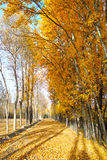 Forest path. 2016.10.6 In the outskirts of the county of Qinghai Province in China, autumn a golden yellow, very beautifu Stock Photo