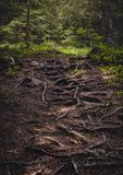 Forest Path overgrown with Roots stock images