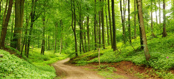 Forest path panorama. Panorama of a path through a lush green summer forest