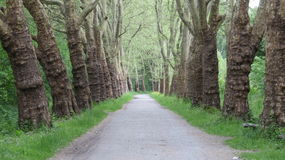 Forest Path. Peaceful forest path through two lines of old trees Stock Image