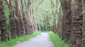 Forest Path. Peaceful forest path through two lines of old trees Royalty Free Stock Photo