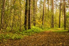 The forest path in the pine forest is covered with autumn leaves. Landscape Stock Photos