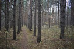 Forest, path, pine, foliage, autumn, coniferous tree. Heavily wooded. Natural environment of Pine mountain stock image