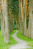 Forest path in pine Royalty Free Stock Photography
