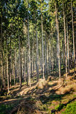 Forest path in pine Royalty Free Stock Images