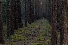 Forest path between pine trees stock images