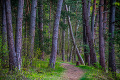 Forest path through pines. Forest landscape of hiking path through trees at morning sun stock image