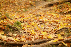 Forest path with roots covered by autumn leaves Royalty Free Stock Photos