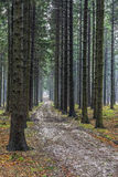 Forest path spruce forest Stock Images