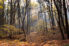 Forest Path Sunbeams through Autumn Forest with Leafs Changing Color Royalty Free Stock Photos