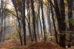 Forest Path Sunbeams through Autumn Forest with Leafs Changing Color Royalty Free Stock Photography