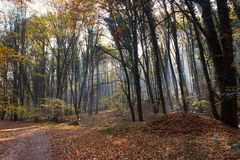 Forest Path Sunbeams through Autumn Forest with Leafs Changing Color Stock Photo