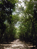 Forest Path Surrounding Coba Mayan Site Royalty Free Stock Images
