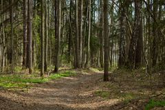 Forest path. Wide path in summer forest Royalty Free Stock Photography