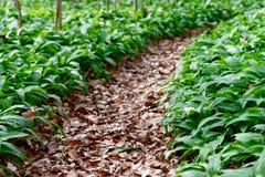 Forest path through wild garlic Stock Photo