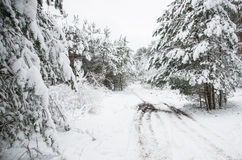 Forest path in the winter Stock Image
