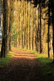 Forest pathway. Tree lined pathway in the forest Royalty Free Stock Photo
