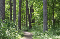 Forest pathway. Green pathway in the wild Scandinavian forest surrounded by trees stock image