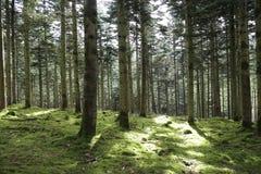 Forest Pathway - solljus på banan arkivfoto