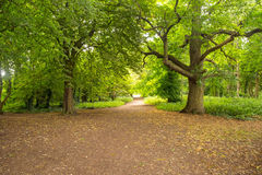 Forest pathway. The very gorgeous pathways of Kingsweston woods in Bristol with a majestic sweet chestnut tree Royalty Free Stock Images