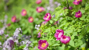 Forest peony (Paeonia daurica). stock video footage