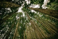 Forest, Perspective, Tall, High, Up Royalty Free Stock Photo