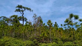 Forest  phu kradung loei thailand. There are many trees green.feel green refresh Stock Photos